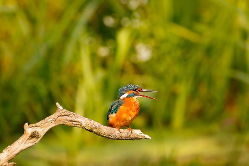 Kingfisher digesting its lunch