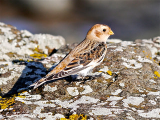 Snow Bunting | by BWS1946