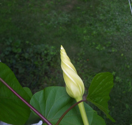 moonflower bud beginning to open