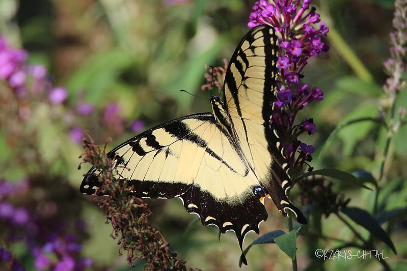 IMG_0931EasternTigerSwallowtail