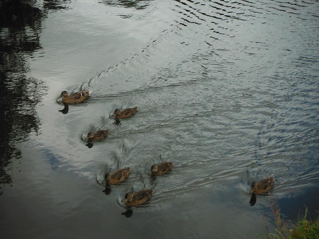Duck Family 5