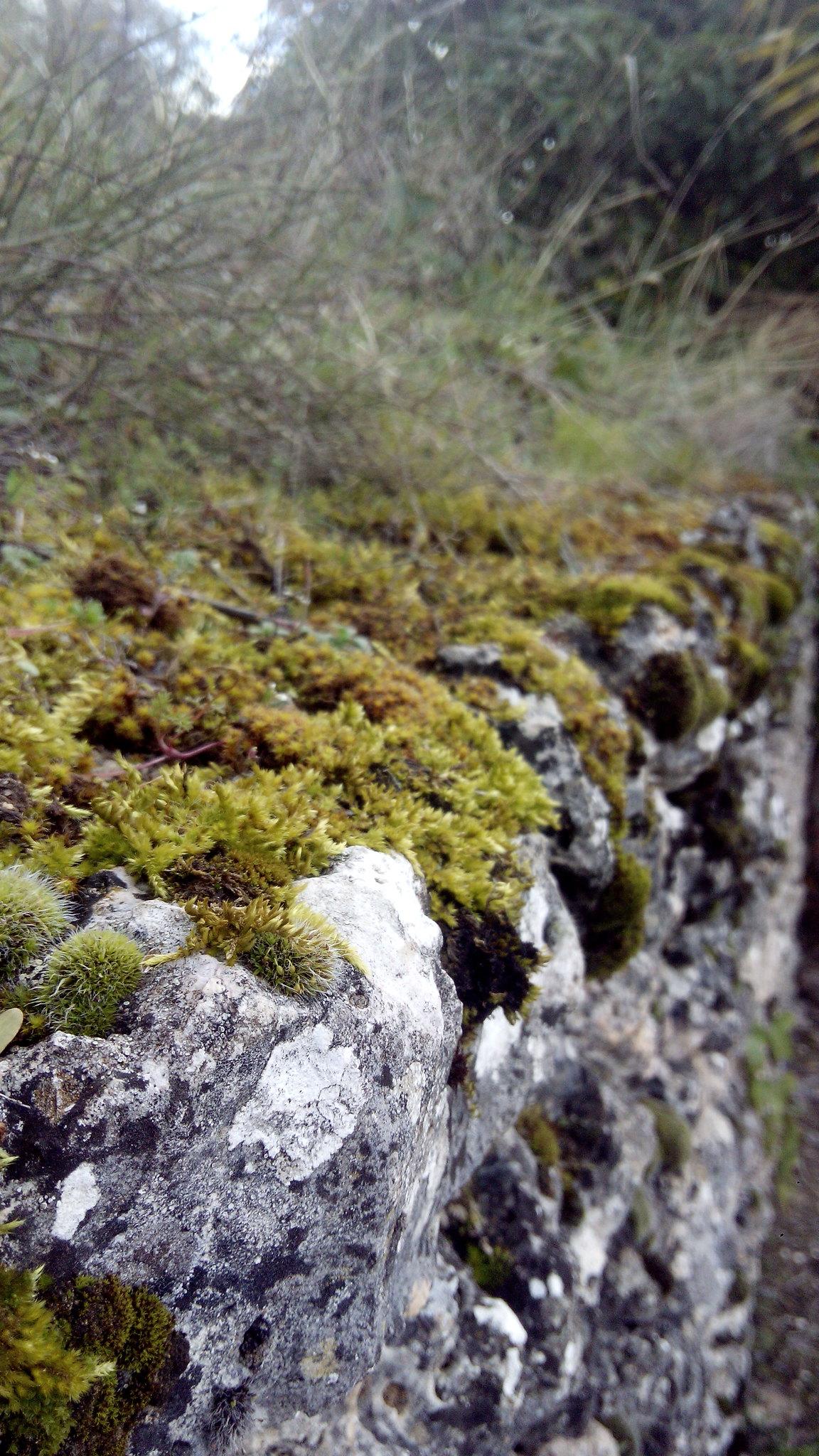 musgo, líquenes, muro