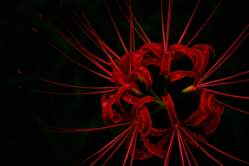 Red spider lily of rain