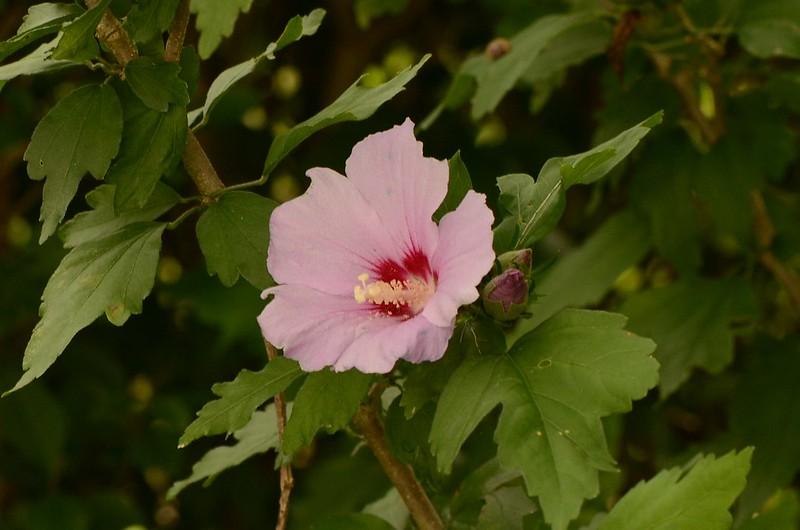 Hibiscus 19.08 (3)