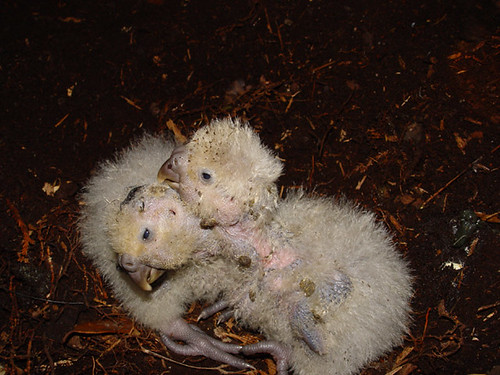 Kakapo chicks