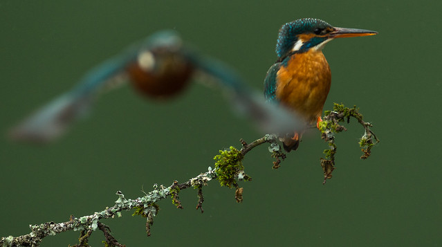 Kingfishers flying & perching-1435