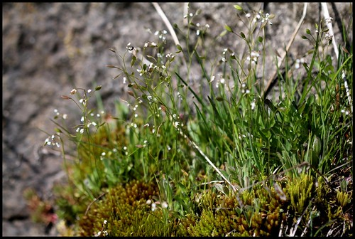 Erophila verna - drave printanière