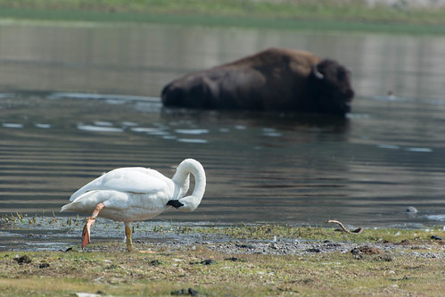 Swan and Bison