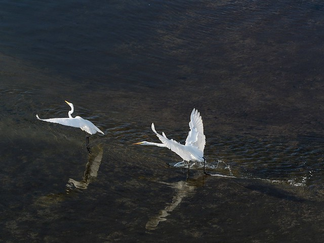 Great egrets (ダイサギ)
