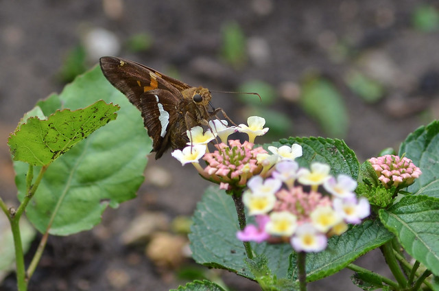Butterfly - Silver-spotted Skipper