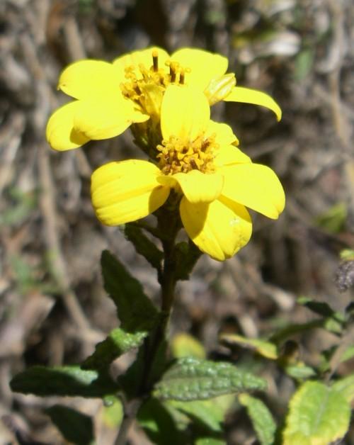 Bahiopsis laciniata 28911106044_0a48a30b49_o