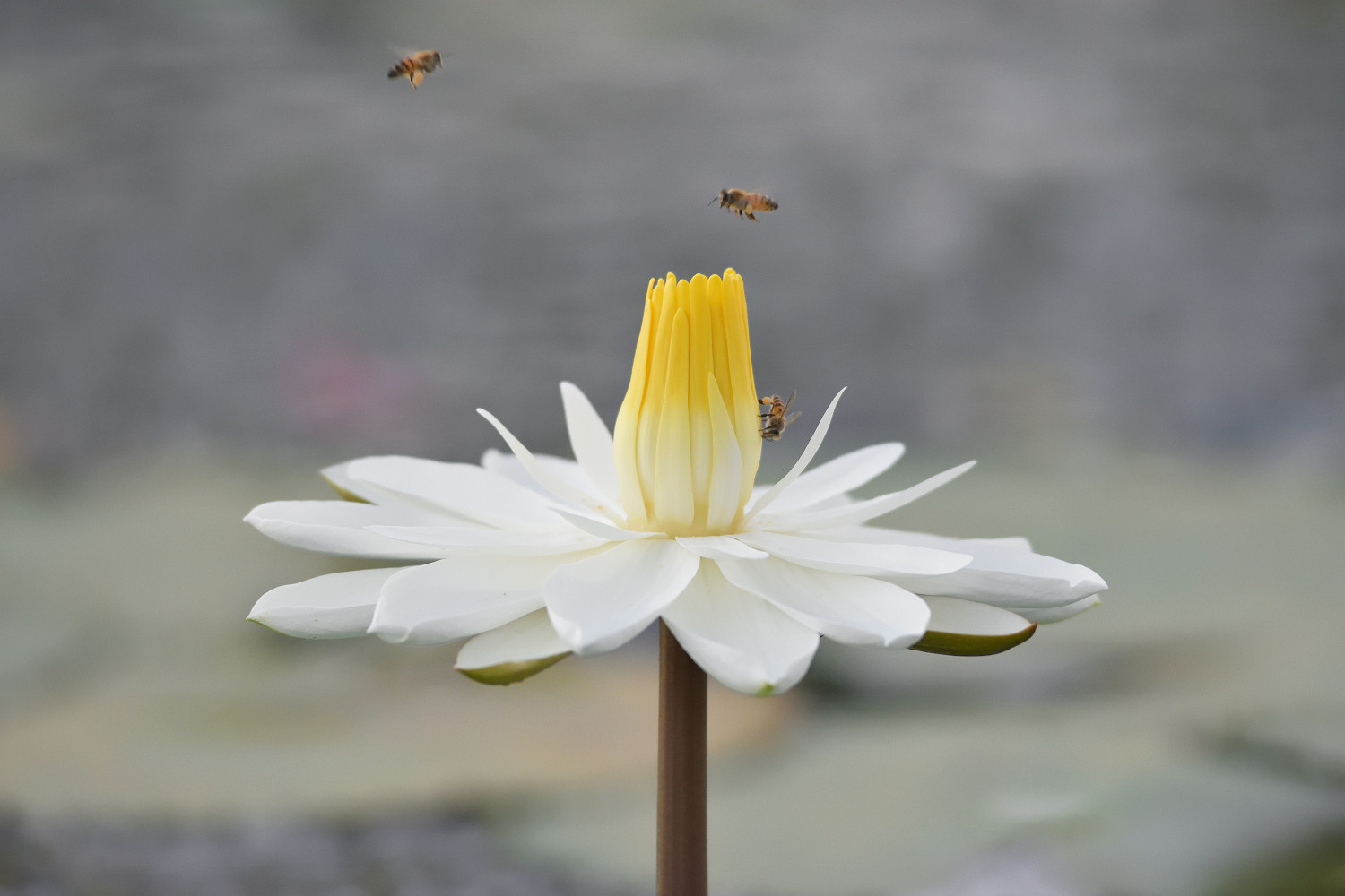 WaterLily_Bee_1963