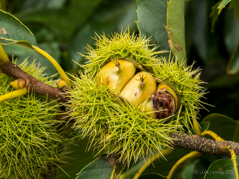 Sweet Chestnuts on the tree