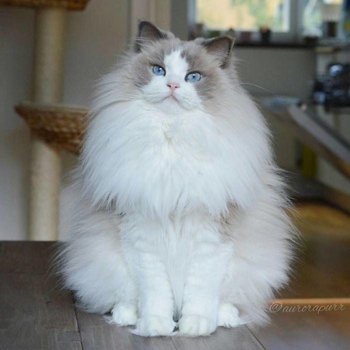 Аврора - одна из самых красивых и пушистых кошек - ПоЗиТиФфЧиК - сайт позитивного настроения!