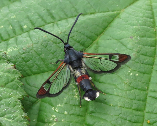 Red-tipped Clearwing Synanthedon formicaeformis Tophill Low NR, East Yorkshire July 2016