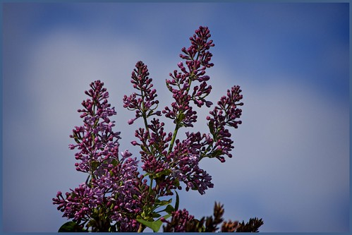 Budding lilacs | by jmschrei