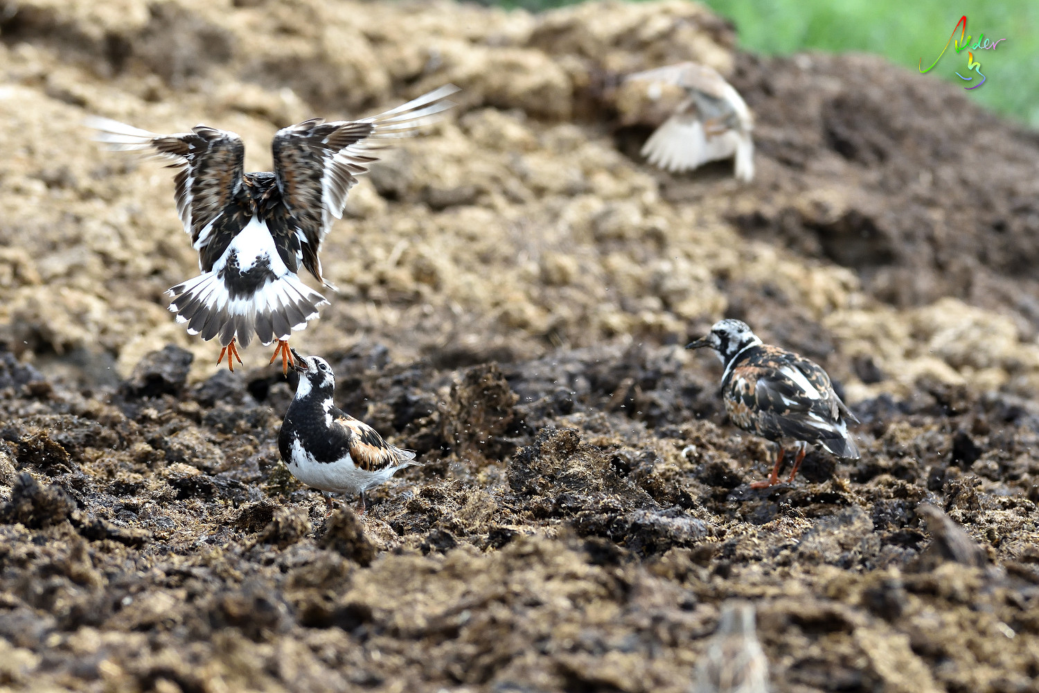Ruddy_Turnstone_8326