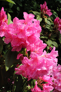 pink rhododendron in our garden! | by joybidge