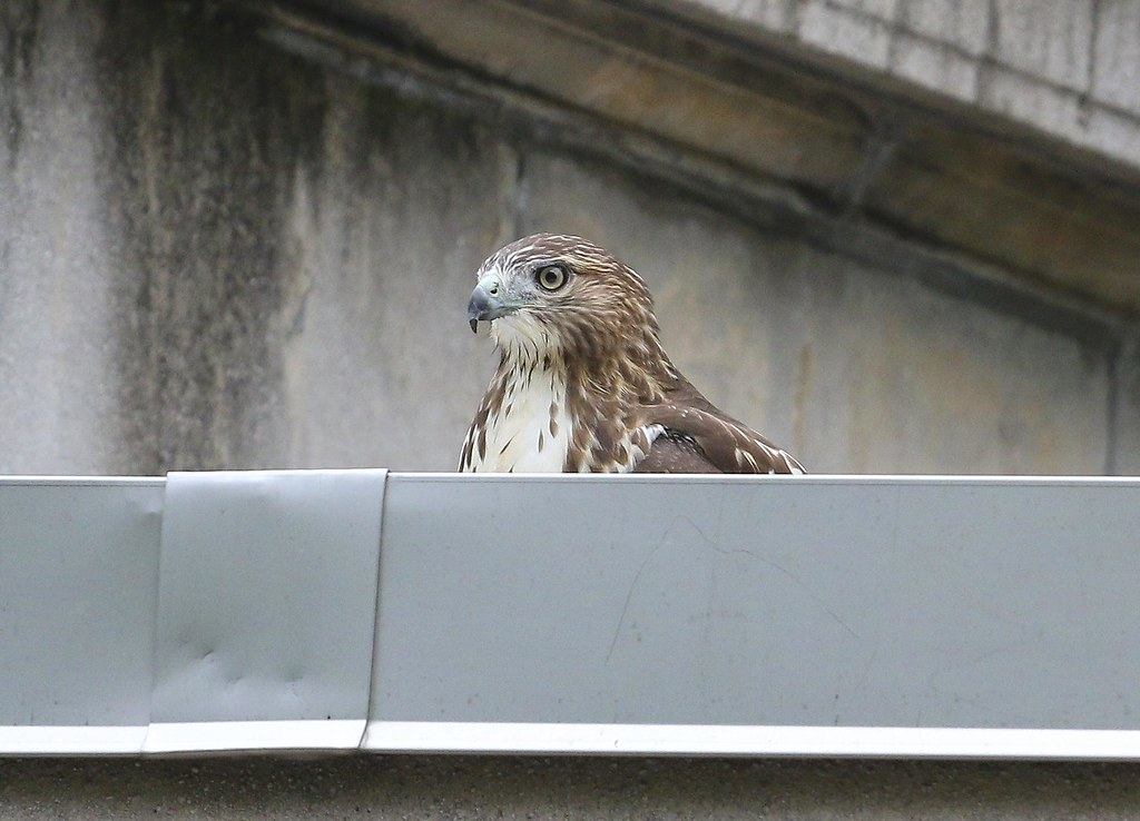 Fledgling cooling off in rooftop pool