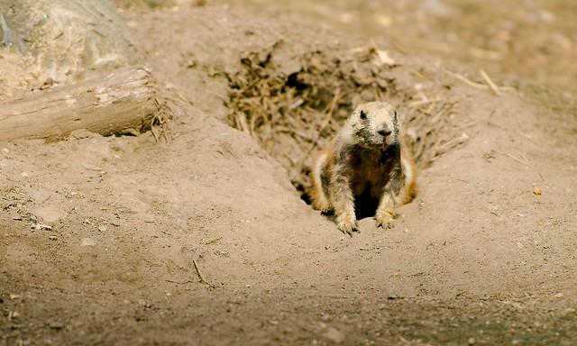 Prairie Dog_1