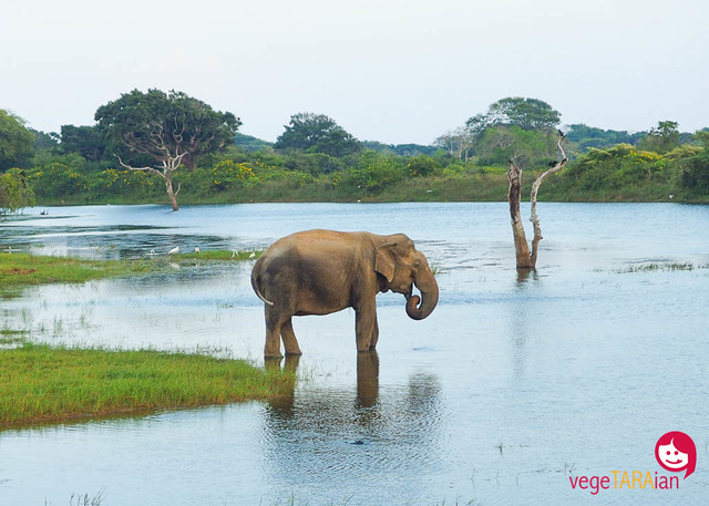 A jeep safari at Yala National Park, Sri Lanka