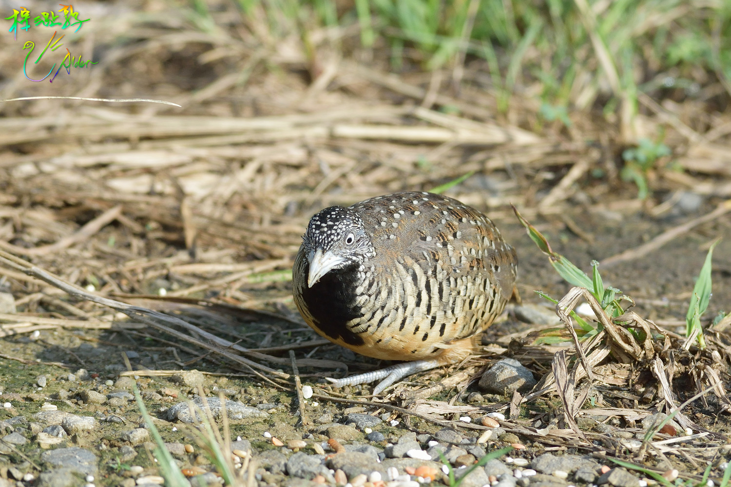Barred_Buttonquail_1110