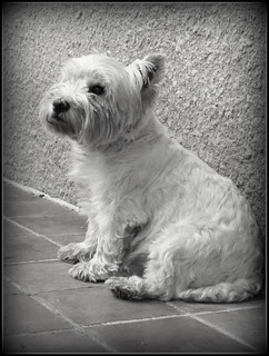 Toffee le westie... | by LILI 296 ...