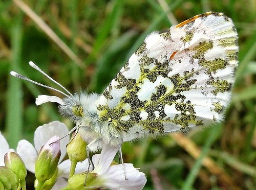 Torn Orange Camouflage. Male Orange Tip, Anthocharis cardamines, on Lady's Smock, Cardamine pratensis, Baggerputten, Slochteren, Groningen, The Netherlands | by Rana Pipiens