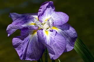 Japanese iris in the spotlight | by Celeste M (more off than on)