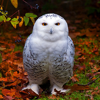 Snowy Owl in Autumn (EXPLORE) | by Steve Wilson - over 8 million views Thanks !!