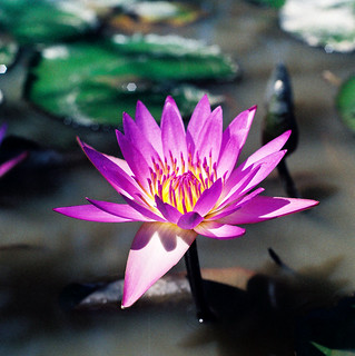 Purple Water Lily | by Khánh Hmoong
