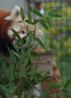 Red panda 06 | by Podsville