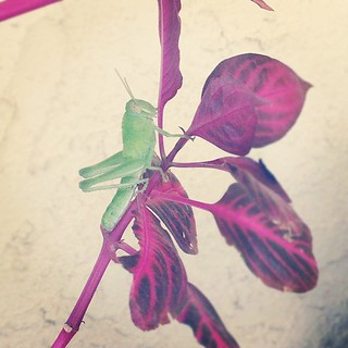 This grasshopper likes to say hai, and eat pretty plants.... | by miniature.rhino