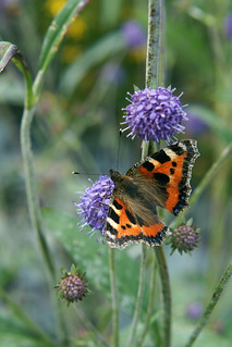 Small Tortoiseshell | by greggys stuff