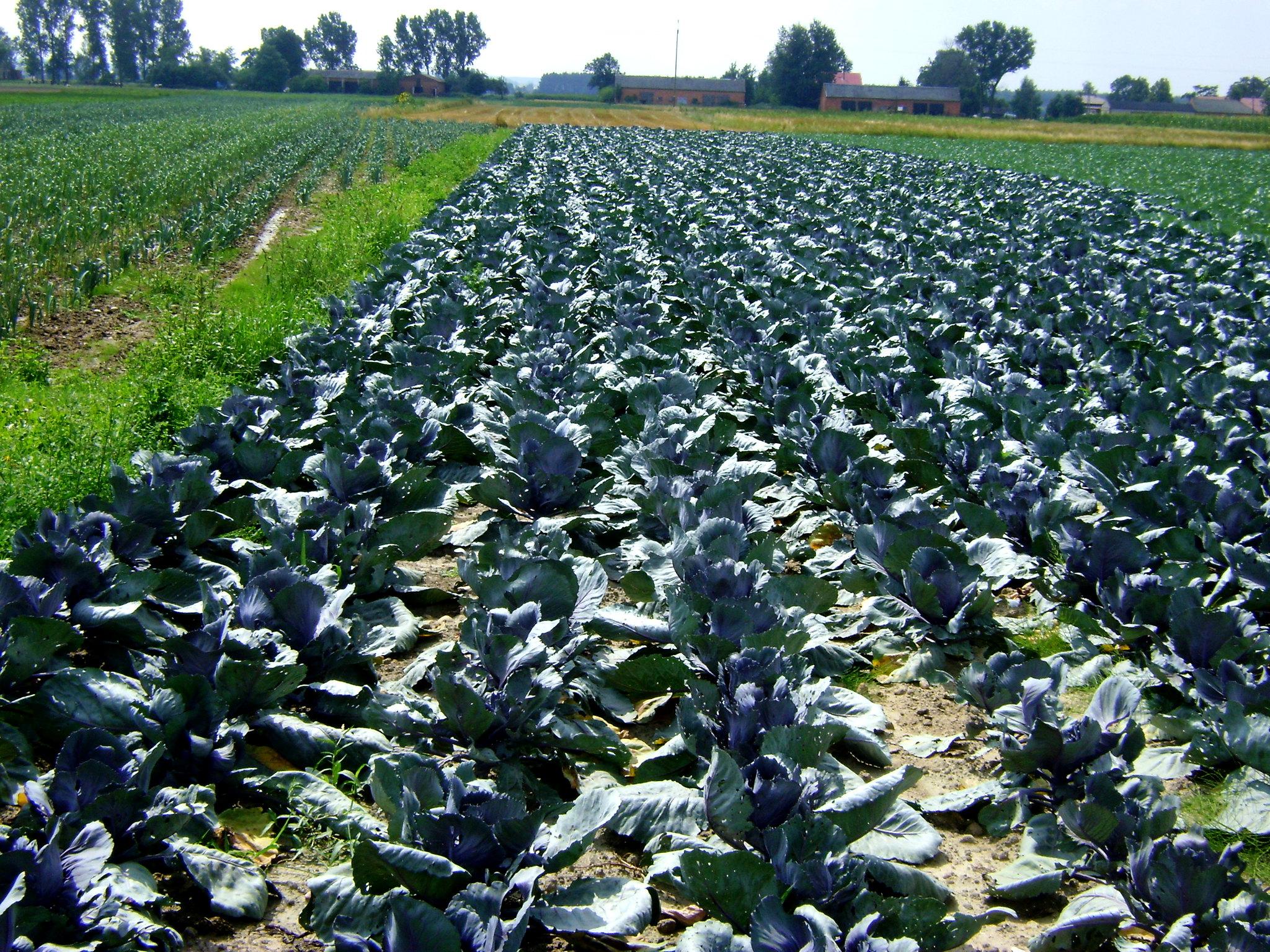 pola pełne warzyw, tu akurat kapusty