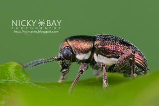 Leaf beetle (Heteraspis dillwyni) - DSC_7334