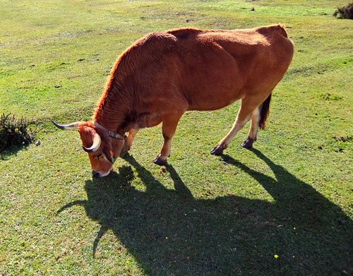 Cow with bell grazing up in the mountains of Covadonga, Spain. I love the dramatic shadow that shows off the horns