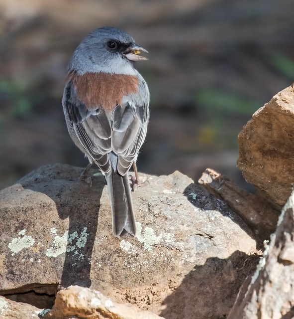 Dark-eyed-Redback-Junco-1-7D2-091516