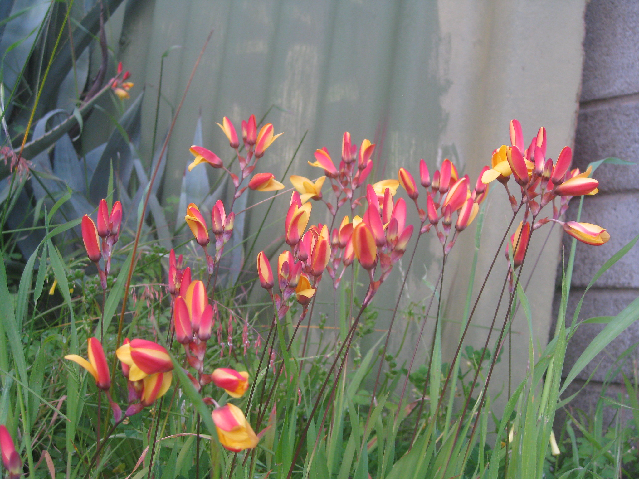 Perth Western Australia Wild These Flowers Come Up Every Spring