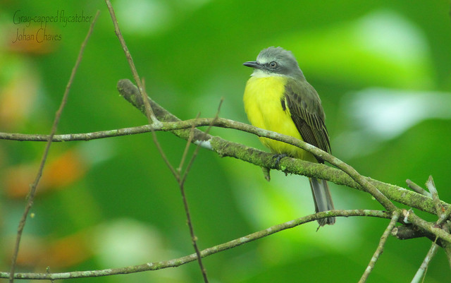 Gray capped Flycatcher