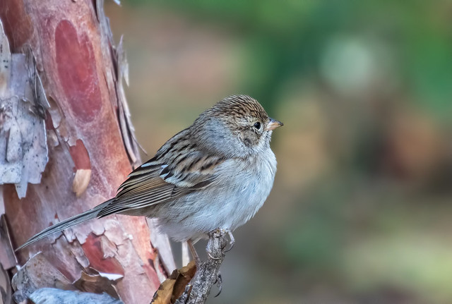 Brewer's-Sparrow-7-7D2-082016