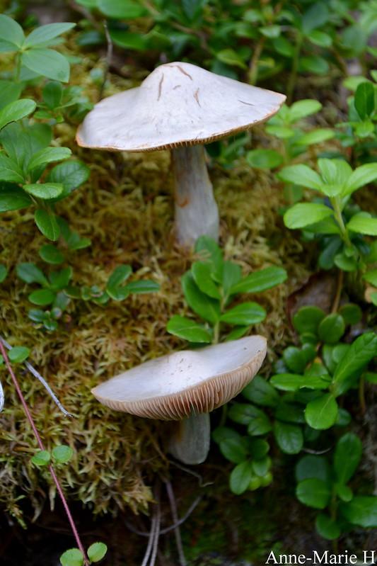 sieniä-vetsikko