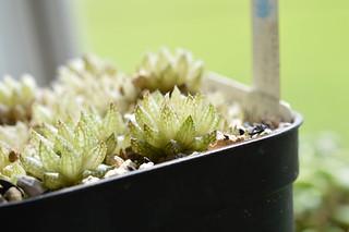 DSC_3602 Haworthia reticulata to herbacea Bosfontein