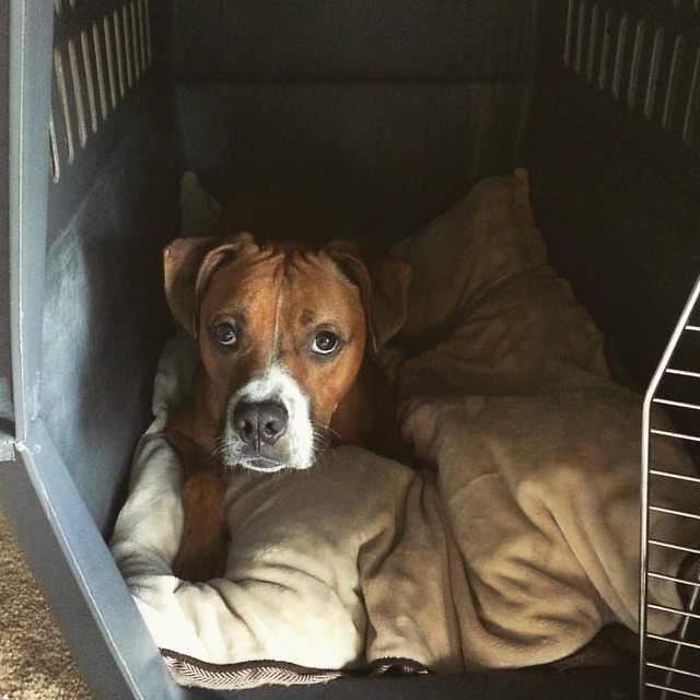 After two months, Thomas finally decided to take his crate for a test drive. #dogs #boxerdog