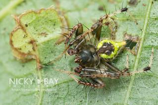 Orb Weaver Spider (Eriovixia sp.) - DSC_6249