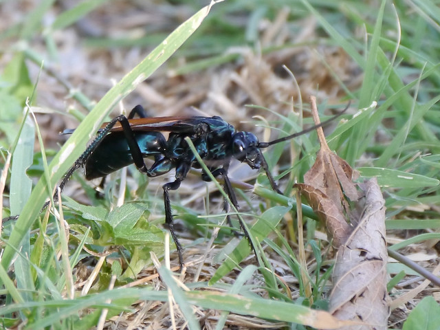Tarantual Hawk Wasp