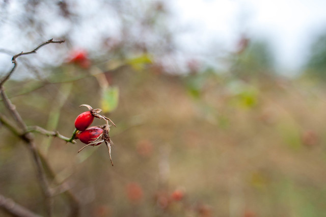 Rose hip bokeh wash