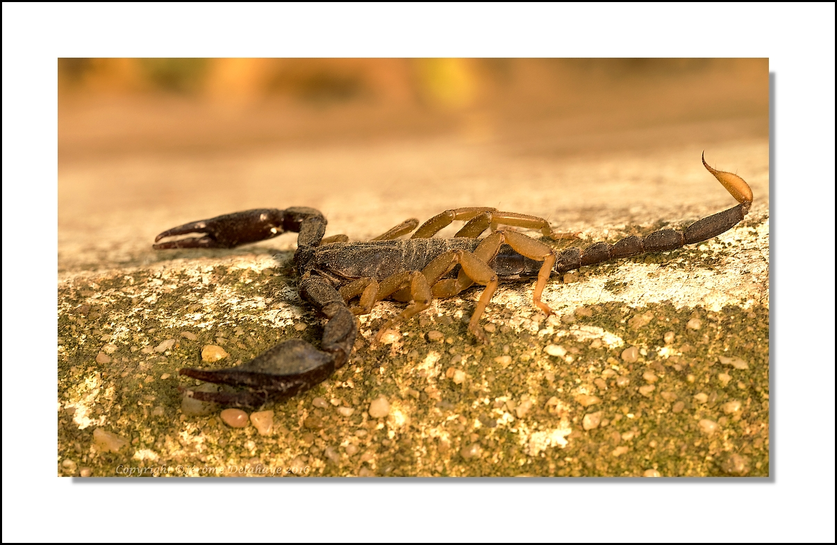 Le scorpion 29138443380_7331a21e4e_o