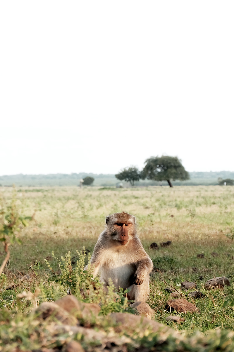 macaque monkey baluran indonesia