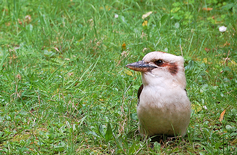 _kookaburra_&_bacon_9_